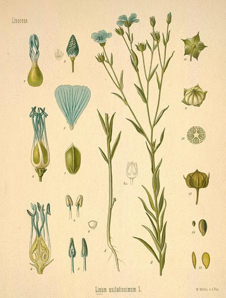Linum usitatissimum--one of the oldest cultivated plants in human history.